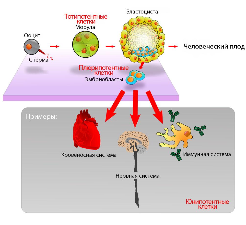 Фетальные стволовые клетки