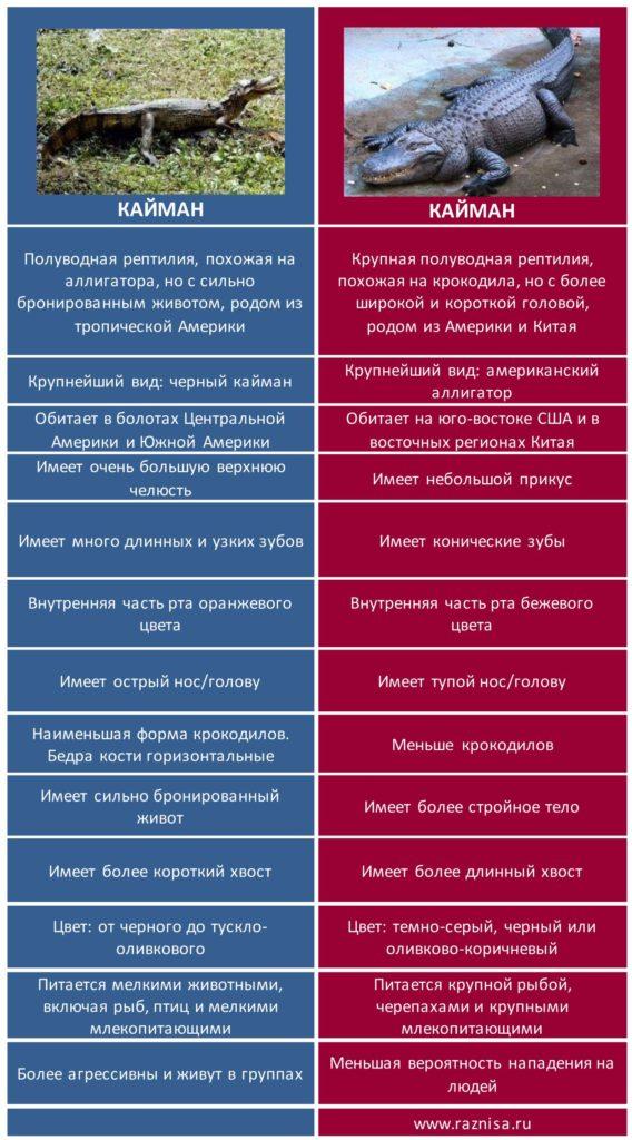 Разница между кайманом и аллигатором