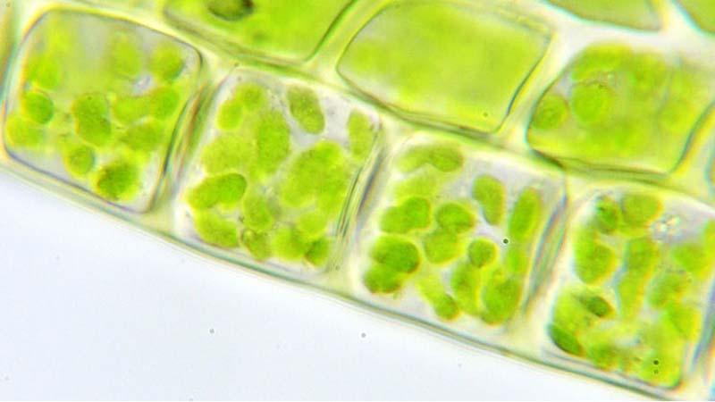 В чем разница между хлоропластом и хромопластом