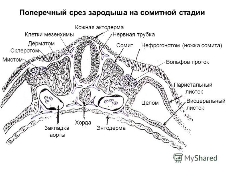 Хорда у эмбриона
