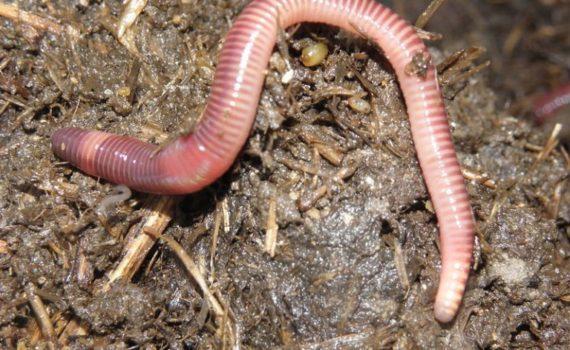 Компостные черви