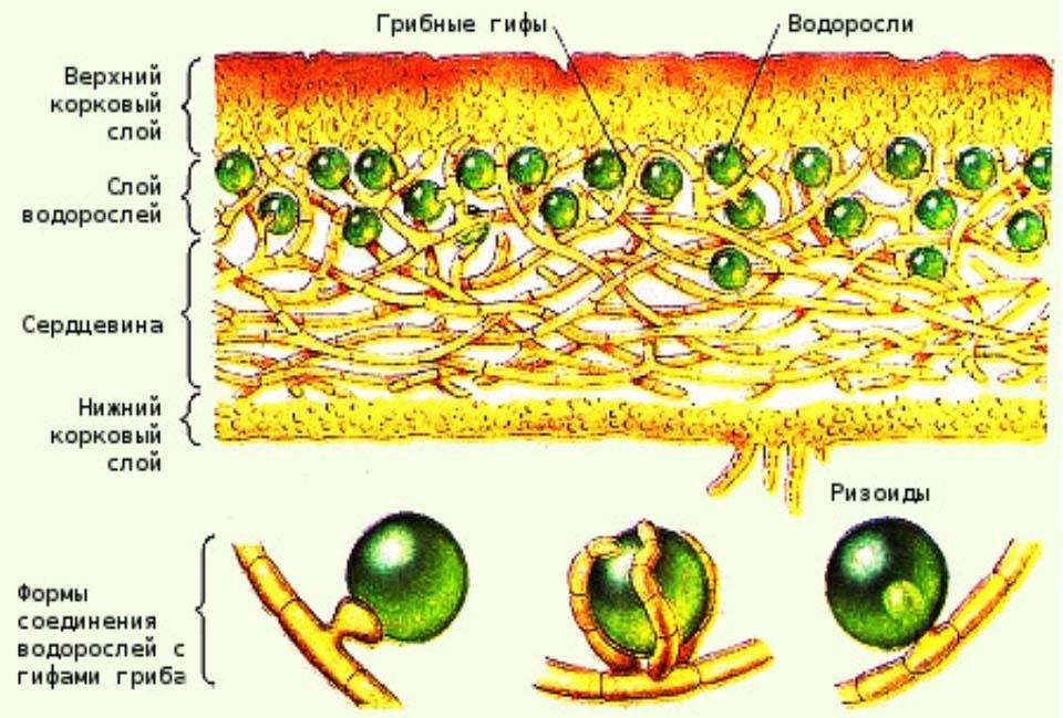 Лишайник - Поперечное сечение