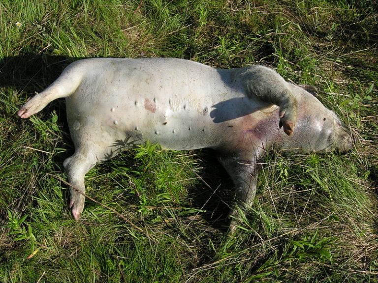 Мертвая свинья
