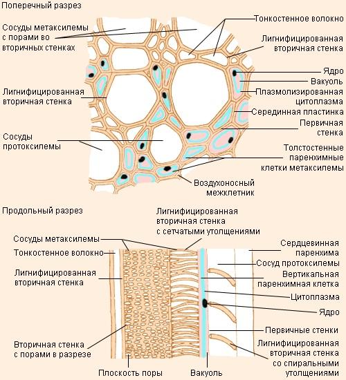 Разница между Протоксилемой и Метаксилемой