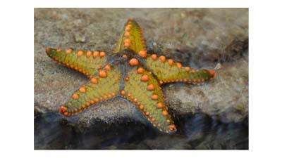 Разница между морской звездой и хрупкой звездой