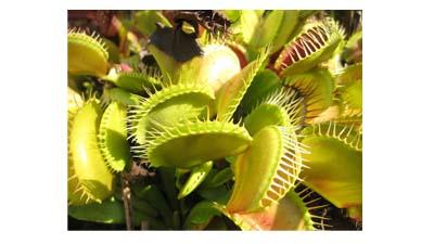 Разница между насекомоядными и симбиотическими растениями