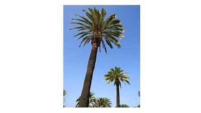 Разница между саговниками и пальмами