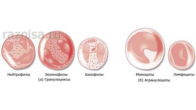 Разница между стволовыми клетками и специализированными клетками