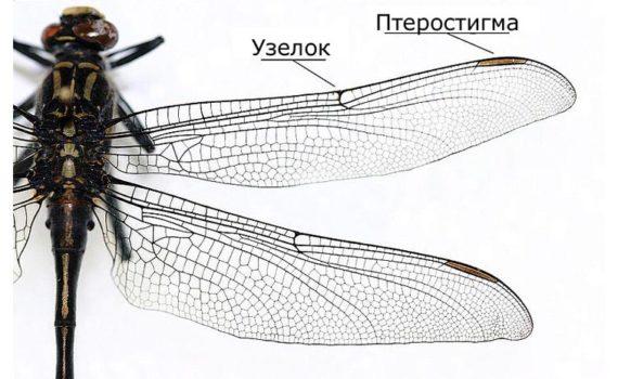 В чем разница между крыльями насекомых и птиц