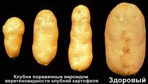 Вироид веретеновидности клубней картофеля