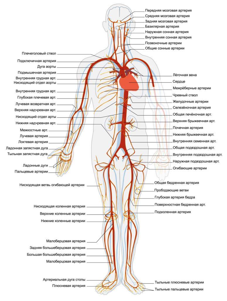 Артериальная система человека