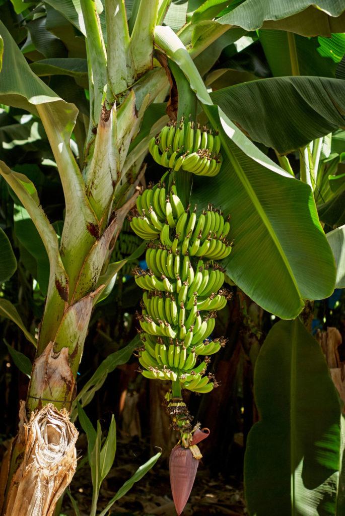 Банановое растение, с гроздьями зеленых бананов над крупными пурпурно-красными прицветниками, которые содержат желтоватые цветки.