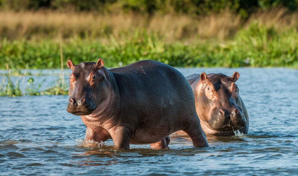 Бегемот в воде. Африка, Ботсвана, Зимбабве, Кения
