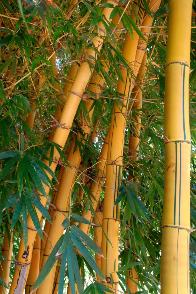 Большие бамбуковые растения в Африке