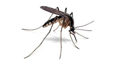 Чем отличаются самки комаров от самцов