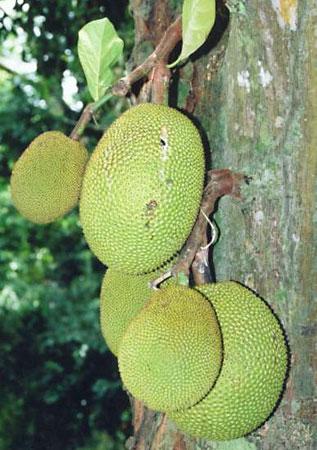 Джекфрут (Artocarpus heterophyllus)