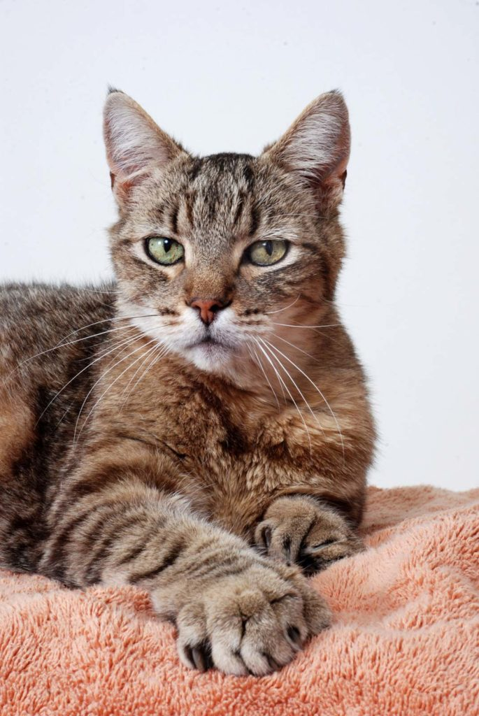 Кот-полидакт