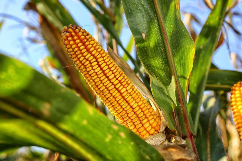Кукуруза является одним из источников производства биоэтанола