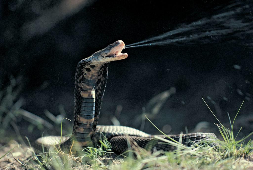 Мозамбикская плюющаяся кобра, один из нескольких видов змей, найденных в этой стране