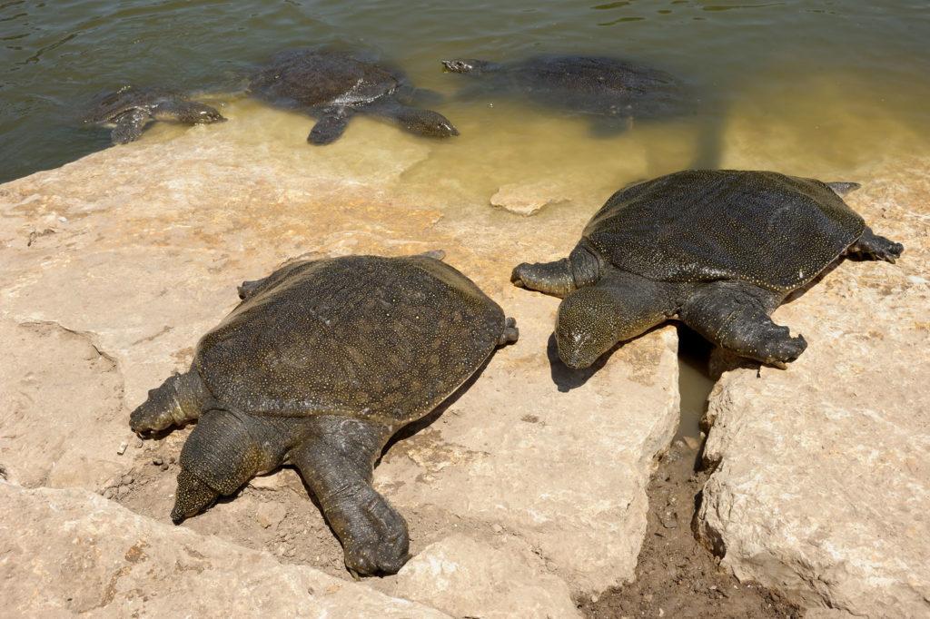 Мягкотелые черепахи (Trionyx triunguis)