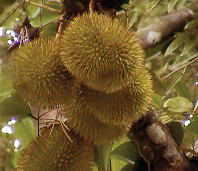 Плод дуриана (Durio zibethinus)