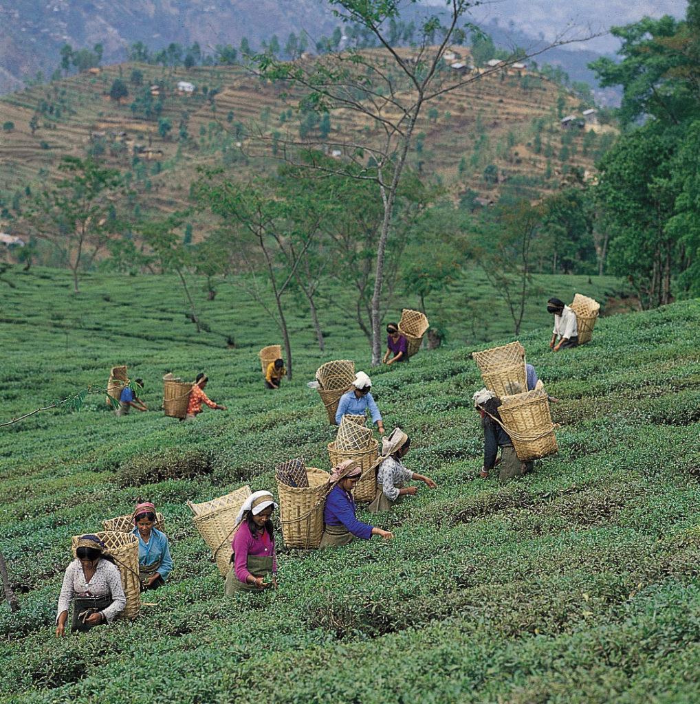 Сбор чайных листьев возле Дарджилинг, Западная Бенгалия