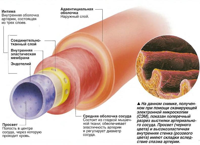 Строение артерии