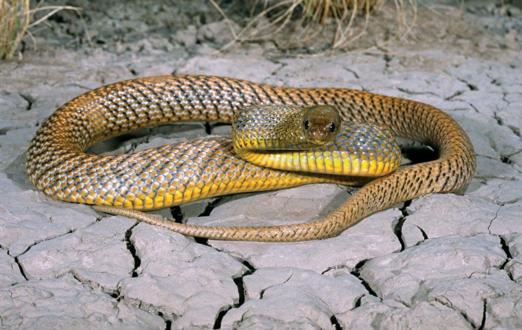 мясом тайпан змея фото известные