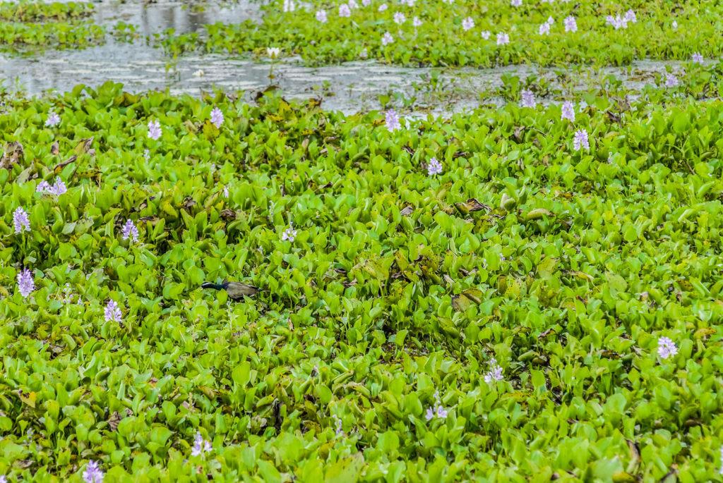 Водяной гиацинт забивает реку