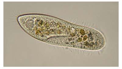 Знакомство с микробами: 5 крошечных простейших и водорослей