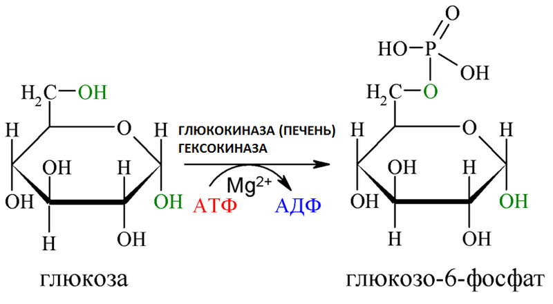 Глюкокиназа - структура