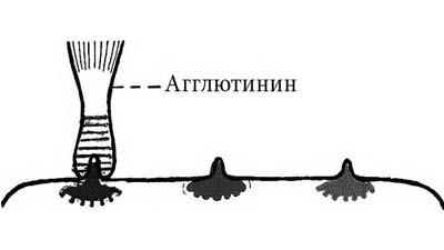 Разница между агглютиногенами и агглютининами