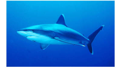 Разница между акулами и костными рыбами