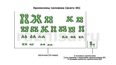 Разница между аутосомами и гоносомами