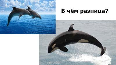 Разница между косаткой и дельфином