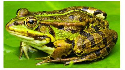 Разница между лягушками и жабами