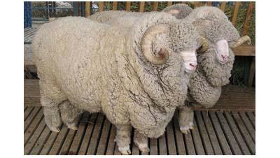 Разница между обычной шерстью и мериносовой шерстью