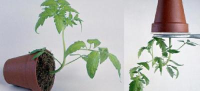 Тропизм у растения