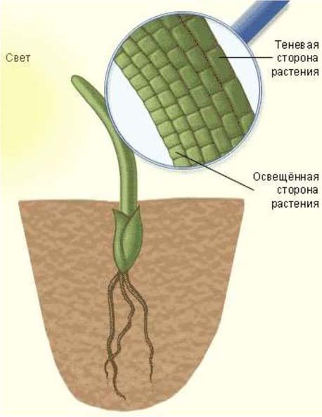 Влияние ауксинов на растение