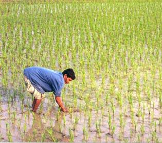 Выращивание риса в щелочных почвах