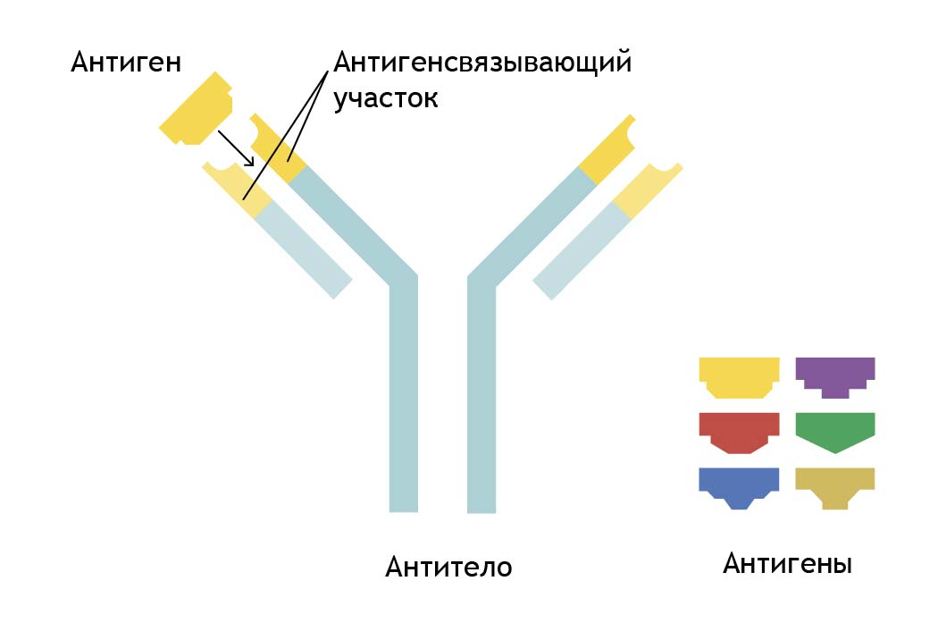 Антитело