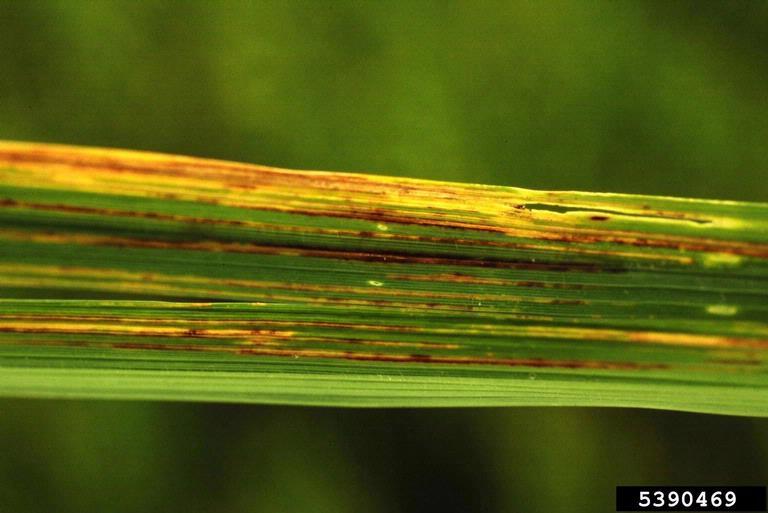 Бактериальная полосатость риса