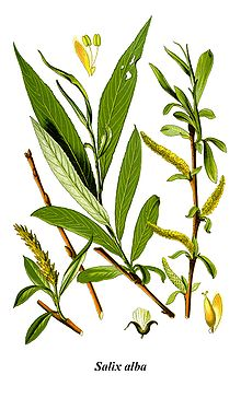 Белая ива является естественным источником салициловой кислоты2