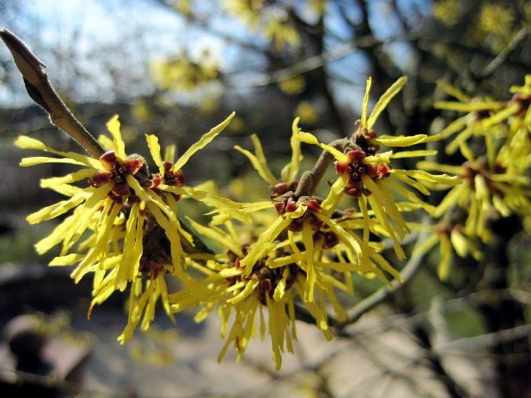 Цветки гамамелиса