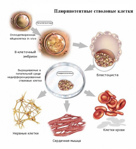 Плюрипотентные стволовые клетки