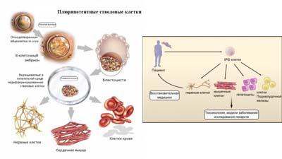Разница между плюрипотентными и индуцированными плюрипотентными стволовыми клетками