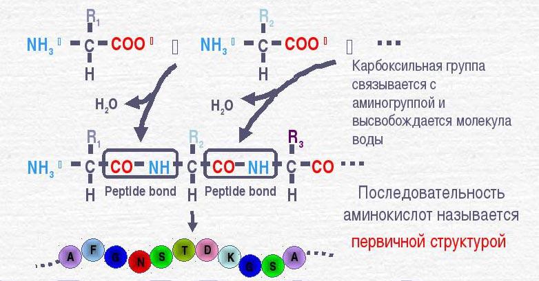 Белок является линейным полимером, состоящим из аминокислот