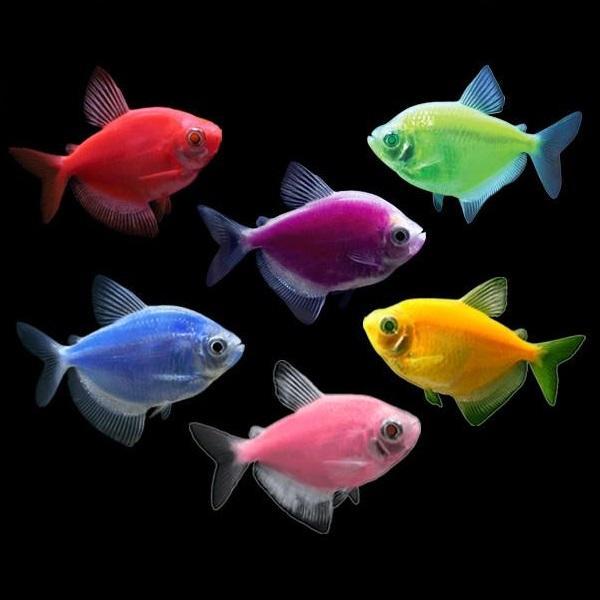 Флуоресцирующие аквариумные рыбки GloFish