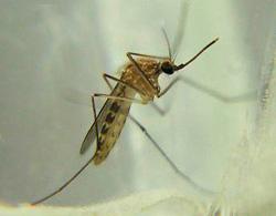 Комар Кулекс (Culex)