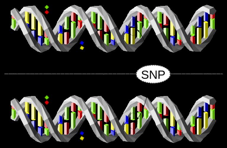 Полиморфизм одиночных нуклеотидов